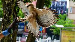 Cận cảnh đại bàng bay lượn giữa quận Hoàn Kiếm, Hà Nội