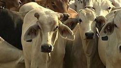 Gia súc xuất khẩu từ Australia sang Việt Nam tăng... 90 lần