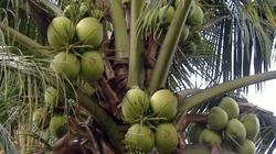 Mưa nhiều khiến dừa tươi rớt giá