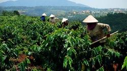 Tăng cường dinh dưỡng cho đất trồng cà phê