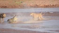 Tận mắt đàn sư tử đại chiến cá sấu khổng lồ vì voi