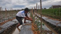 Trồng cà chua VietGAP lãi gấp 30 lần trồng lúa