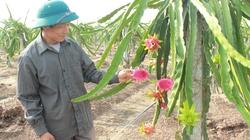 """Bị """"mê hoặc"""", lão nông quyết trồng thanh long ruột đỏ trên đất cam"""