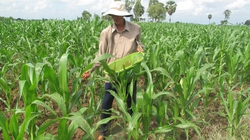 Cây biến đổi gene đổ bộ Việt Nam: Gắn với chuyển đổi cơ cấu cây trồng