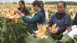 Cây biến đổi gene đổ bộ Việt Nam: Thu nhập tăng nhờ ngô lai