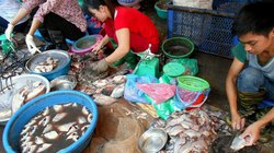Cá lóc sẵn, bốc mùi giá 20.000 đồng/kg ngập chợ đầu mối thủ đô