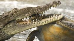 Rùng mình trước cảnh rùa rơi vào miệng cá sấu