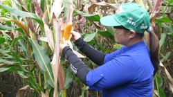 Cây trồng biến đổi gene đổ bộ Việt Nam: Không sợ độc quyền, phụ thuộc