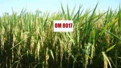 Bình Định: Giống lúa OM 8017 cho năng suất cao
