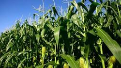 Thu lợi lớn nhờ trồng gối vụ ngô, đậu xanh