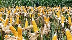 NÓNG: Việt Nam sắp cho phép thương mại hoá cây trồng biến đổi gen