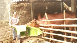 Tiếp vốn cho đồng bào Mường nuôi bò