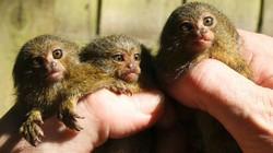 Ca sinh ba lần đầu tiên của loài khỉ nhỏ nhất thế giới