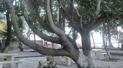 4 cây lâu năm ở Trường Sa được công nhận là di sản