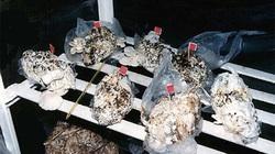 Công nghệ trồng nấm từ... bỉm bẩn độc nhất vô nhị