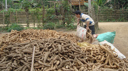 Xuất khẩu sắn: Nhúc nhích nhưng chưa bền