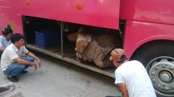 Thừa Thiên-Huế: Một đêm bắt 2 xe khách chở gỗ lậu