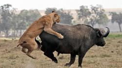 Chùm ảnh trâu rừng đơn độc chiến thắng bầy sư tử