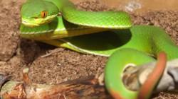Cần Thơ: Đang ngủ, sờ phải rắn lục đuôi đỏ... nằm cạnh, bé 11 tuổi trúng độc