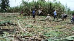Nông dân Kiên Giang - Cà Mau: Nguy cơ về  một mùa mía đắng
