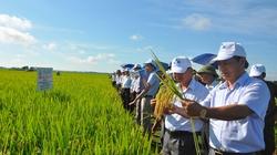 """Phân bón NPK-S của Lâm Thao: """"Lá chắn"""" đạo ôn cho giống lúa mới"""