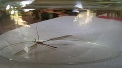 """Muỗi khổng lồ ở Quảng Bình là loài ruồi """"si tình""""?"""