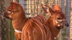 Cặp linh dương Bongo song sinh cực hiếm chào đời