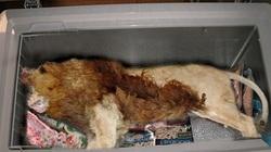 KINH HOÀNG: Phát hiện sư tử chết trong... tủ lạnh