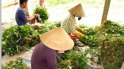 Những ruộng rau diếp cá cho nông dân miền Tây thu nhập trăm triệu