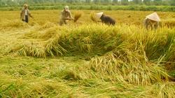 Giá lúa không tăng dù trúng thầu 200.000 tấn gạo