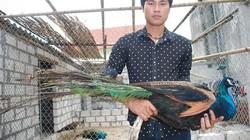 Anh nông dân Hải Dương được tiền tỷ nhờ xem... chim công múa