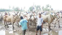 An Giang: Tưng bừng lễ Hội đua bò mừng lễ Sene Dolta