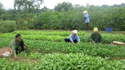 Trồng rau hữu cơ: Giá cao vẫn đắt hàng, thu 200 triệu đồng/ha