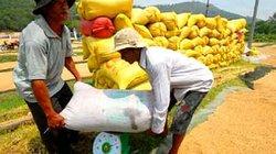 Thương nhân liên kết tiêu thụ thóc gạo với nông dân: Được hưởng chính sách như tham gia cánh đồng lớn