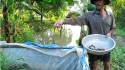 Miền Tây mùa nước nổi: Kiếm bạc triệu mỗi ngày từ ụ cỏ bẫy lươn