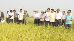 Giống lúa TBR 225 được lòng nhà nông
