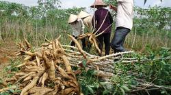 Phân Lâm Thao giúp cây sắn nhiều củ