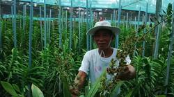 """Lão nông Khmer bắt đất phèn """"yêu"""" hoa lan"""