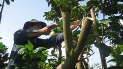"""Nhà vườn tất bật """"nắn eo, tạo dáng"""" cho trái """"độc"""" mùa Tết"""