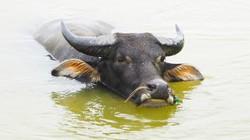 Cách chữa bệnh loét da quăn tai ở trâu bò