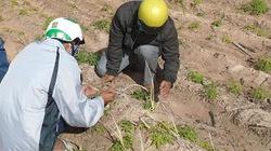 Hàng trăm ha mía bị nhiễm bệnh trắng lá