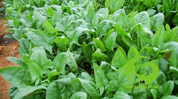 Kỹ thuật trồng bina - loại rau có thể giúp chống ung thư