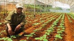 Anh nông dân K'Ho làm giàu nhờ rau củ lạ