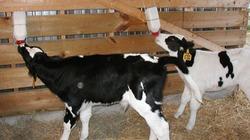 Phát hiện mới: Nuôi bê cái bằng sữa bột cho hiệu quả cao
