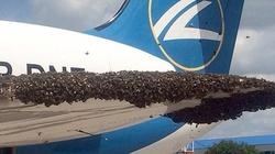 Nga: Máy bay chở khách bị hàng nghìn con ong tấn công