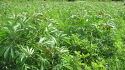 Kỹ thuật trồng lạc xen sắn