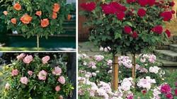 """Hoa hồng tree rose giá """"đắt bỏng tay"""" có gì lạ?"""