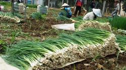 Hành lá Lâm Đồng trúng lớn