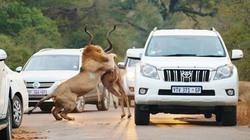 """Sư tử rượt mồi trên đường cao tốc khiến du khách """"hết hồn"""""""