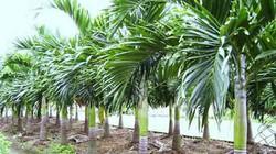 Kỹ thuật trồng cây cau lùn dáng đẹp, quả sai